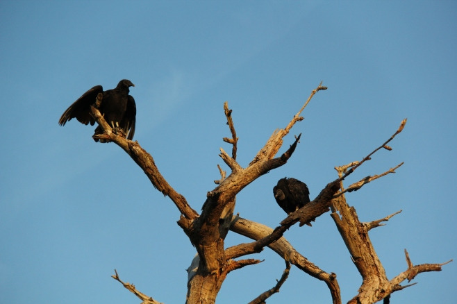 A bit less than 2 feet tall, a tad lighter, a narrower wingspan of 54 inches tipped with white feathers on the undersides of their wings, and the rest is a dull black feathering compared to the Turkey Vulture. The Black Vulture sports a wrinkly face and bare black head. Its legs are white-toned and its rounded tail does not cover all of its legs when in flight. They tend to flock while flying. The Black Vulture will readily feast on live prey instead of just dead or dying prey. They have keen eyesight but lack in a strong sense of smell. Though smaller in size than a turkey vulture, the Black Vulture will aggressively keep Turkey Vultures at bay! The lifespan tends to be about 5 years for the Black Vulture.