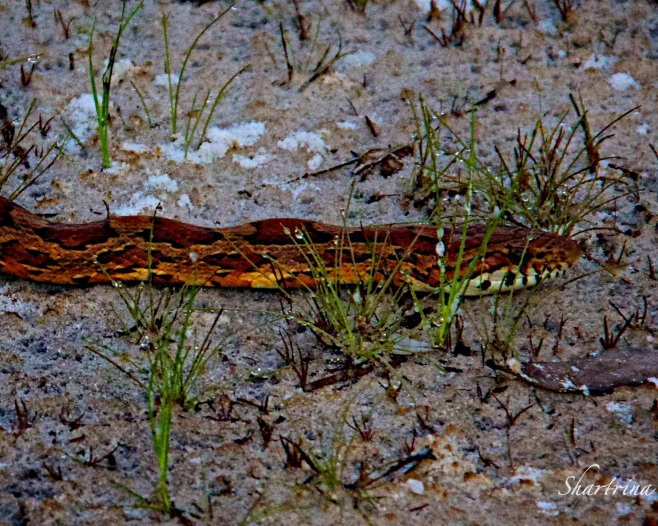 A corn snake bites the prey in order to obtain a firm grip, then it quickly wraps one or more coils of its body around the victim.